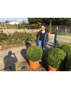 Buxus Sempervirens Ball 30 Litre 65cm wide