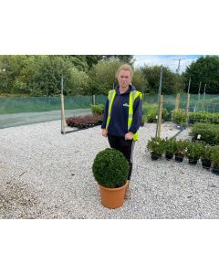 Buxus Sempervirens Ball 15 Litre Pot 45cm +