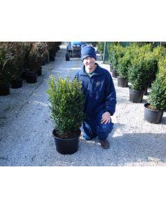 Box Hedging 30-40 cm