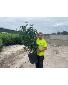 Camellia Jap. General Colletti 30 Litre Pot