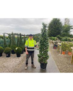 Trachelospermum Jasminoides 50 Litre Pot Cone 200/220cm