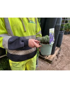 Lavender Angustifolia Hidcote 13cm Pot