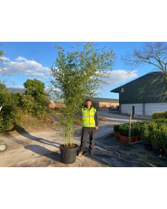 Bamboo Phyllostachys Bissetii 35-70 Litre Pot 2.5-3m