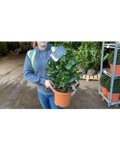 Camellia Japonica Bicolour 6.5 Litre Pot