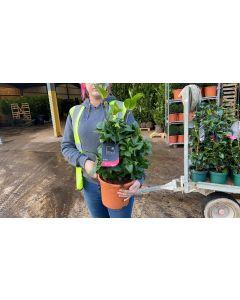 Camellia Japonica Dr King 5 Litre Pot