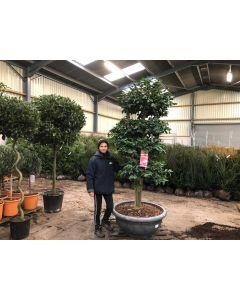 Camellia Japonica George Patton Bonsai