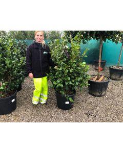 Camellia Japonica Kramers Supreme 10 Litre Pot