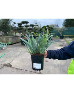 Carex Bunny Blue 2 Litre Pot