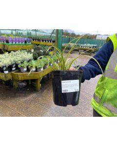 Carex Vanilea Ice 2 Litre Pot
