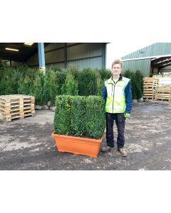 Box Hedging Instant Hedge Trough 100cm Long & 110cm Tall (Inc Planter)