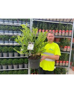 Magnolia Stellata 10 Litre Pot