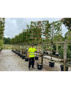 Carpinus B. Pleached 25 Litre 8/10 Girth Full Standard 120x120