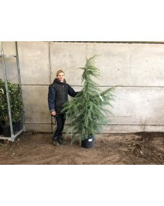 Cedrus Deadora 18 Litre Pot 125/150cm