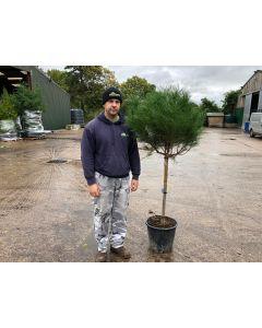 Pinus Nigra Marie Bregeron 7 Litre Pot Mini Standard