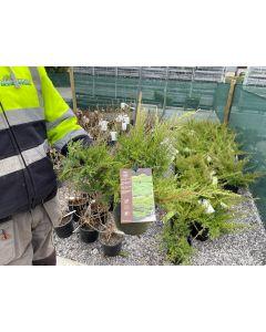 Juniperus Media Compacta 4.5 Litre Pot