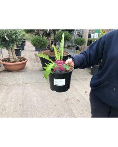 Cirsium Attropurpureum 3 Litre Pot