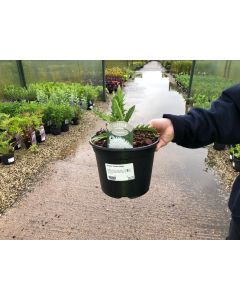 Cirsium Frosted Magic 3 Litre Pot