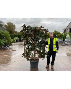 Magnolia Grandiflora Wall Frame 65 Litre Pot 160x110