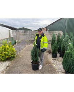 Chamaecyparis lawsoniana Columnaris 80/100cm Newly Potted Root Ball