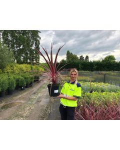 Cordyline Pacific Sunrise 7.5 Litre Pot