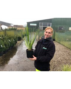 Cortaderia Mini Pampas 2 Litre Pot