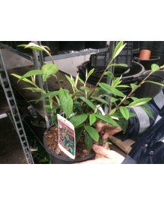 Cotoneaster Cornuba 3 Litre
