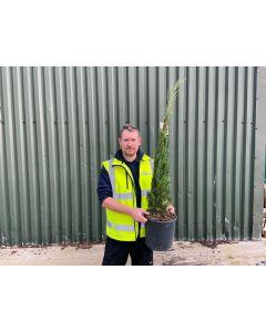 Cupressus sempervirens 15 Litre Pot 125/150cm