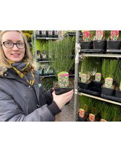 Cytisus Zeelandia 1.5 Litre Pot