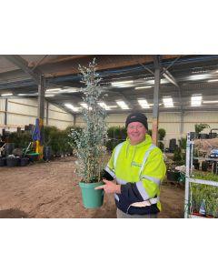 Eucalyptus Gunnii Bush 5 Litre Pot Cone