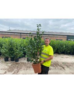 Camellia Japonica Dr Burnside 15 Litre Pot