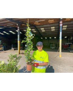 Trachelospermum Jasminoides 3 Litre Pot 100/125cm