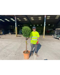 Yew or Taxus Baccata Half Standard Tree 45 Litre Pot