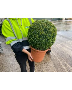 Buxus Sempervirens Ball 10 Litre Pot 35cm