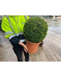 Buxus Sempervirens Ball 7.5 Litre Pot 30-35cm