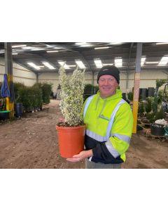 Euonymus White Spire 10 Litre Pot