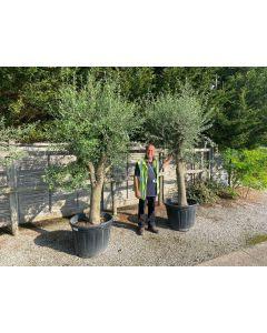 Olive Tree 90 Litre Pot Heavy Tree Shape