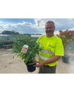 Azalea knaphill Golden Flare 3 Litre Pot