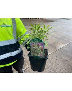 Euphorbia Ascot Rainbow 2 Litre Pot