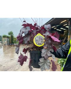 Heuchera Sugar Plum 2 Litre Pot