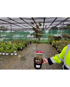 Acer palmatum Bloodgood 3 Litre