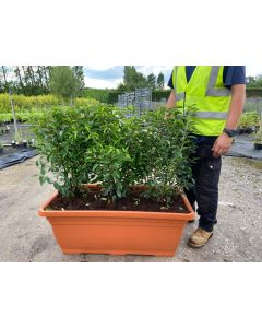 Portuguese Laurel  Planted Screen 1 metre long x 1 Metre Tall (inc planter)