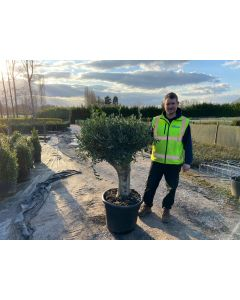 Olive Tree 65 Litre Pot Very Thick Trunk & Huge Head