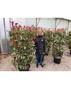 Photinia x fraseri Pink Marble 35 Litre Pot Wall Frame 120x70