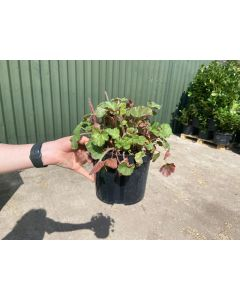 Heuchera Ruby Bells 2 Litre Pot