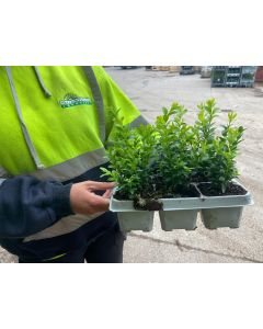 Box Hedging 6 Plants in a Tray 15cm