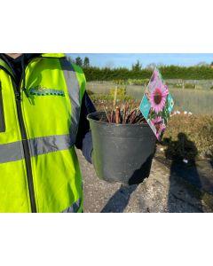 Echinacea Sunseekers Pink 2 Litre Pot