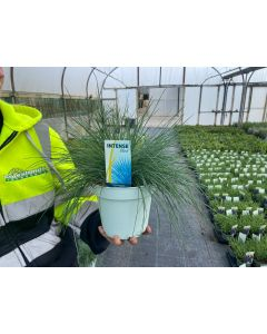 Festuca Glauca Intense Blue 2 Litre Pot