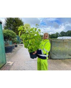 Hydrangea Arborescens Annabelle 10 Litre Pot