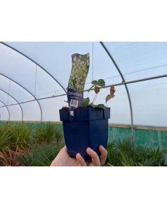 Epimedium youngianum Niveum 11cm Pot