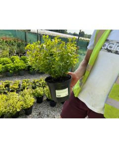 euonymus emerald and gold 3 litre